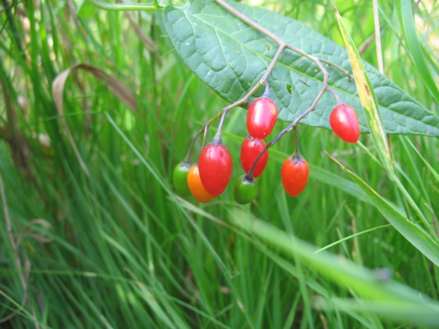 Паслён сладко-горький выращивание 42